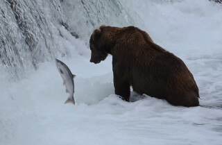 A Minute Away: Bears and salmon on Brooks River, Katmai, Alaska