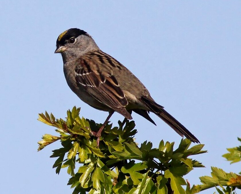 The golden-crowned sparrow is among many bird species known to host the Lyme disease bacteria in California
