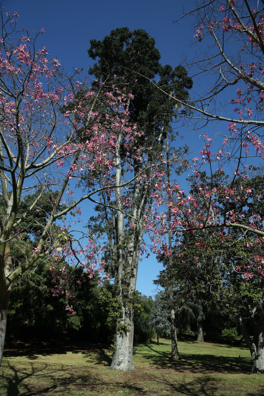 Pink blooms of a silk floss tree are seen in front of a tall Queensland Kauri pine in Elysian Park's Chavez Ravine Arboretum.