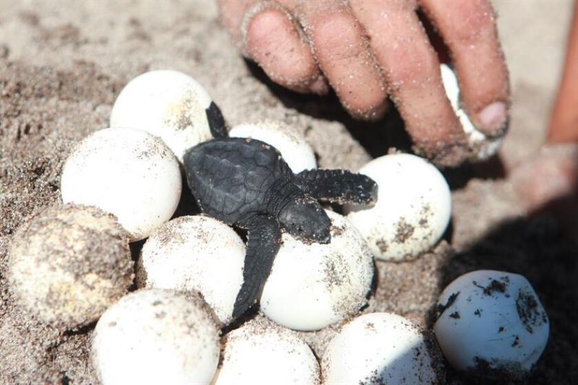 Un juez de Florida condenó a penas de cárcel a dos hombres por extraer más de 500 huevos de varios nidos de tortuga de una playa en el condado de St. Lucie (costa este de Florida) para su comercialización, informó hoy la Fiscalía Federal del distrito sur del estado. EFE/Archivo