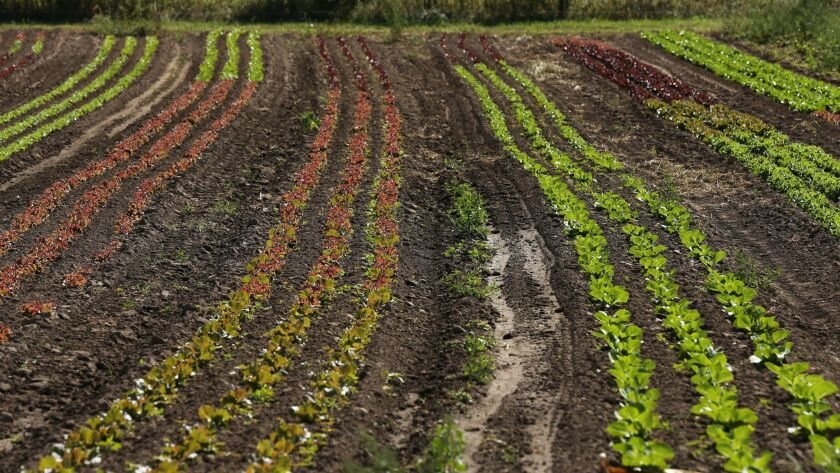 Rows of various greens and leafy vegetables await harvest at the organic PrairiErth Farm.