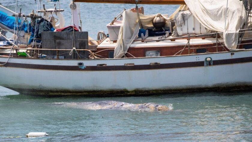 A juvenile gray whale pops up near a boat in Newport Harbor on Thursday.