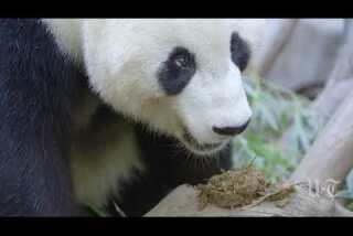 A very happy birthday to Mr. Wu, the Zoo's youngest panda
