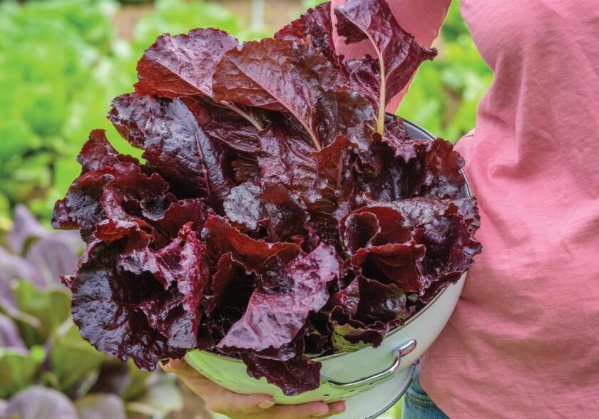 burpee burgundy lettuce.jpg