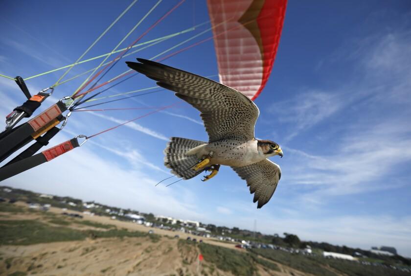Sophia, a lanner falcon, flies along as David Metzgar parahawks in La Jolla on Jan.14, 2020.