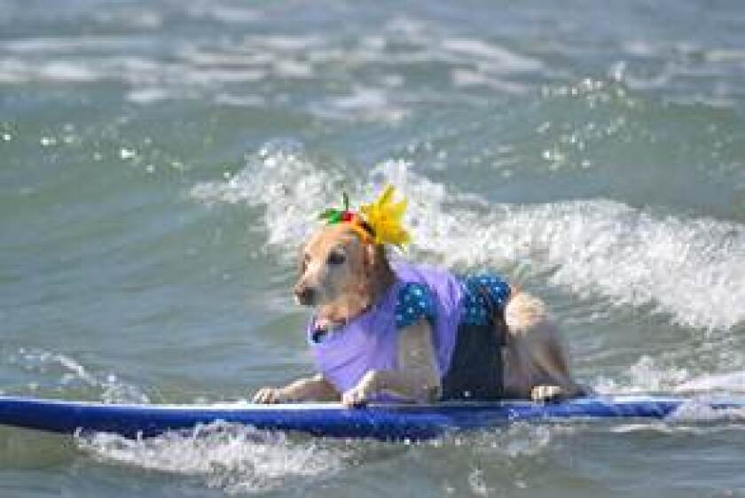 A SurFUR pup riding the waves