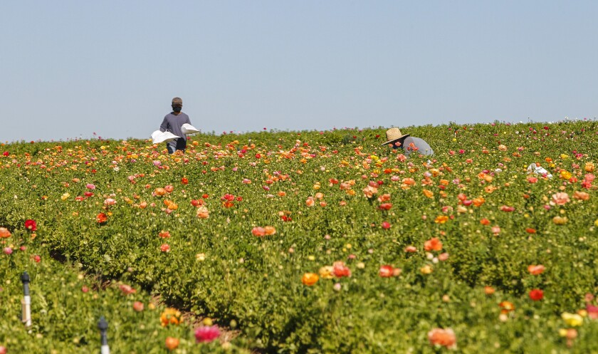 Crews work in the ranunculus fields at the Flower Fields in Carlsbad on Wednesday.