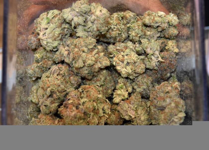 Fotografía de una muestra de marihuana medicinal. EFE/Archivo