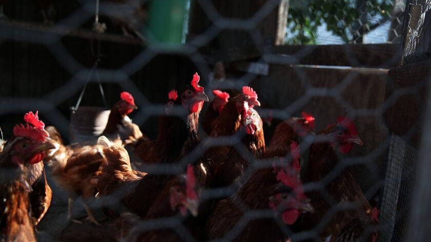 RIVERSIDE, CA-MAY 13, 2019: Les Kanawah's chickens are scheduled to be euthanized on May 13, 2019, i