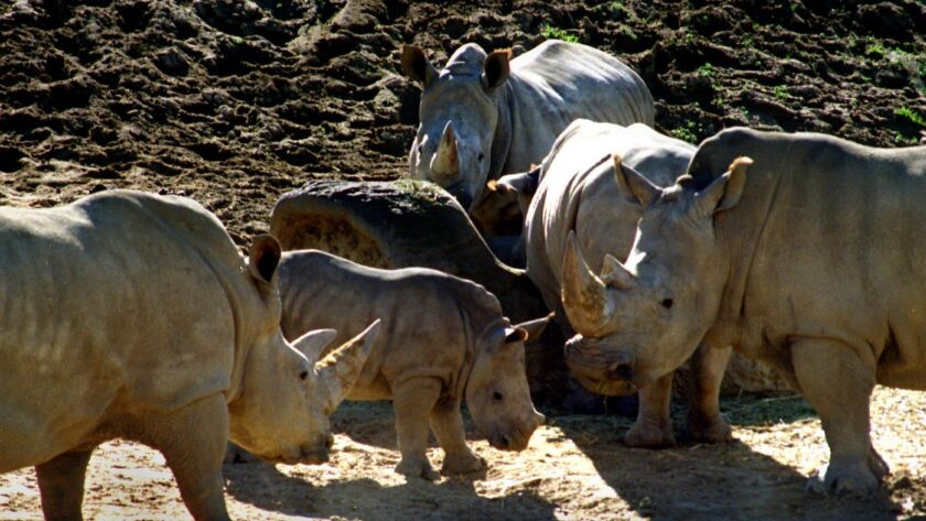 This 1996 file photo shows northern white rhinos at the San Diego Zoo Safari Park. Between 1972 and 2015, when the last one died, the zoo hosted eight northern white rhinos.