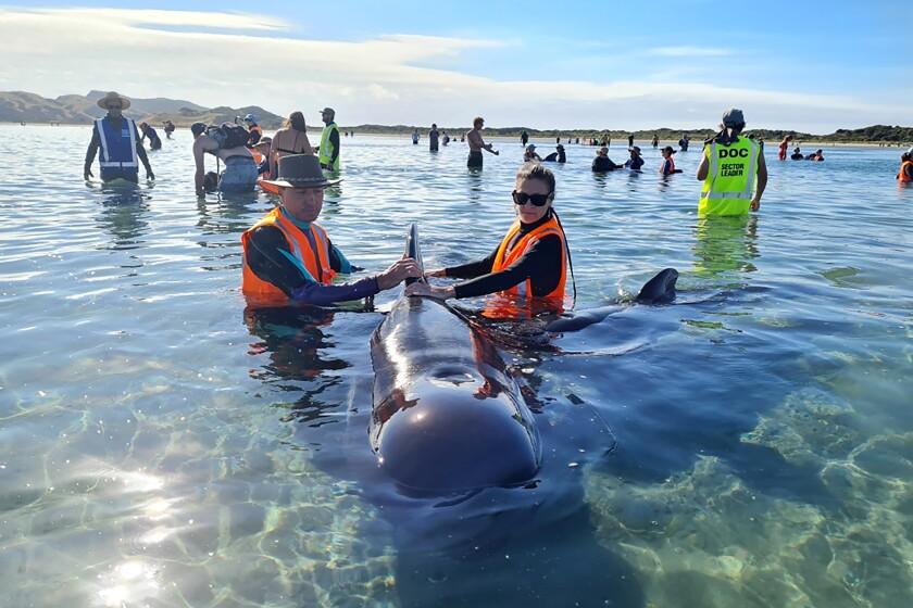 En esta fotografía proporcionada por Project Jonah, unos rescatistas trabajan el lunes 22 de febrero de 2021 para salvar a una ballena piloto que quedó varada en Farewell Spit, en Nueva Zelanda. (Project Jonah vía AP)