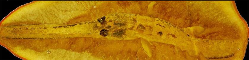 A fossil impression left by a juvenile Bandringa shark.