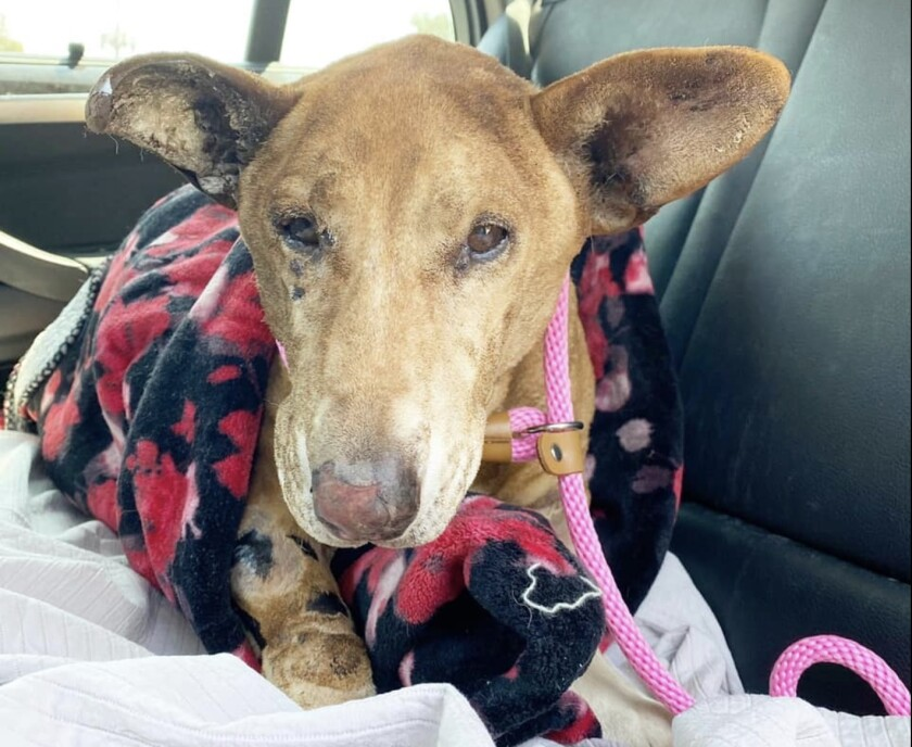 Hennessy, a Welsh corgi mix, tries to recover after being set on fire.