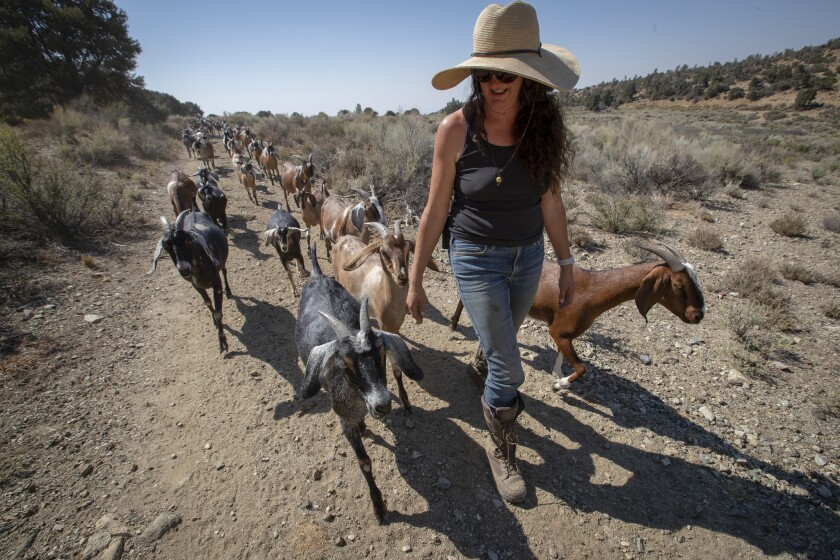 Gloria Putnam herds her mostly female Nubian goats on her 70-acre goat farm in the Angeles National Forest called Angeles Crest Creamery.
