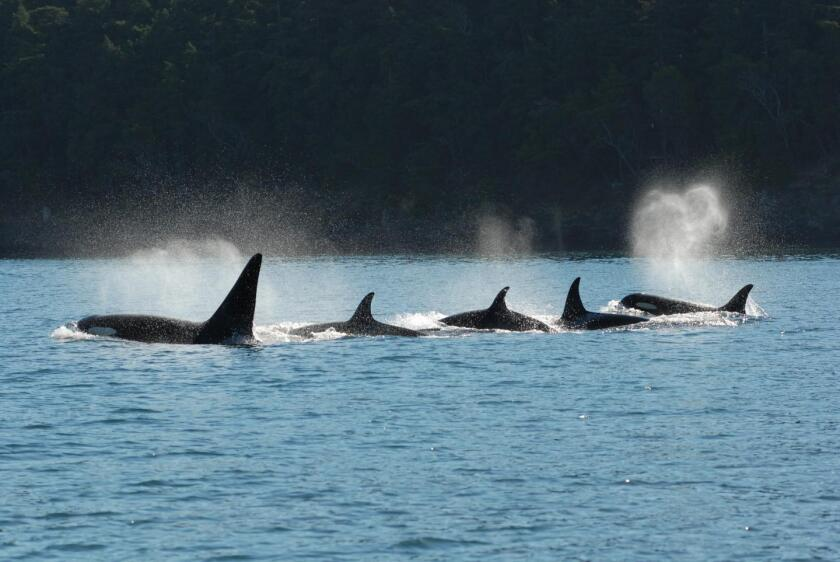 A pod of killer whales swims in tight formation. A new study finds that many such forays are led by older females well past their reproductive years.