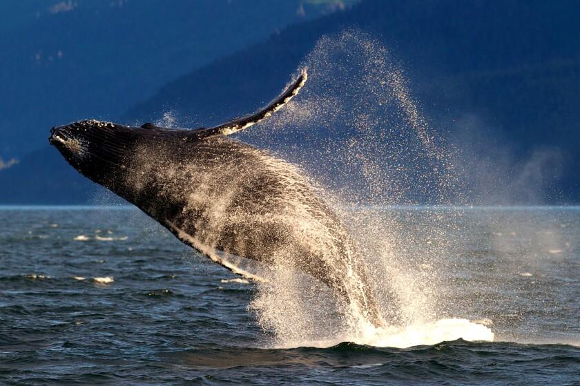 An adult humpback whale breaches in Lynn Canal near Juneau, Alaska.