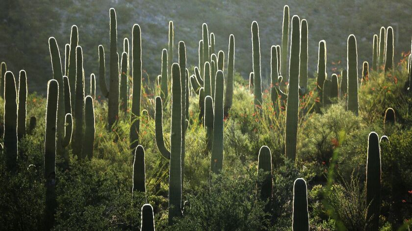 In this 2015 photo Saguaro cacti are backlit by western sun at the Saguaro National Park, West, Tucs