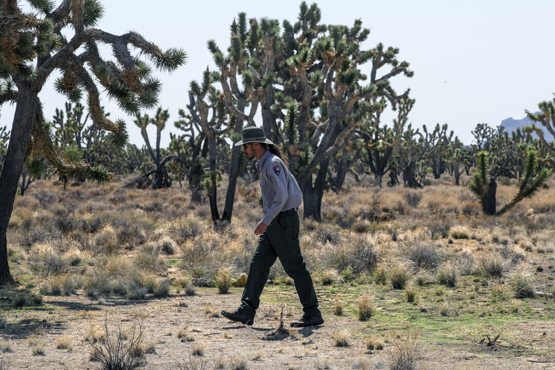 Drew Kaiser checks for red brome, an  invasive grass, in an unburned portion of the Joshua tree forest.