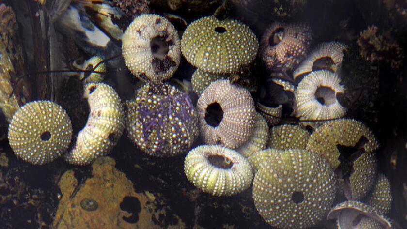 Los erizos de mar desaparecieron por miles de años durante los antiguos períodos de calentamiento que podrían ser un modelo del futuro cambio climático, muestra un nuevo estudio. Aquí, los caparazones de los erizos de mar modernos se encuentran en una piscina de marea en Corona del Mar. (Glenn Koenig / Los Angeles Times)