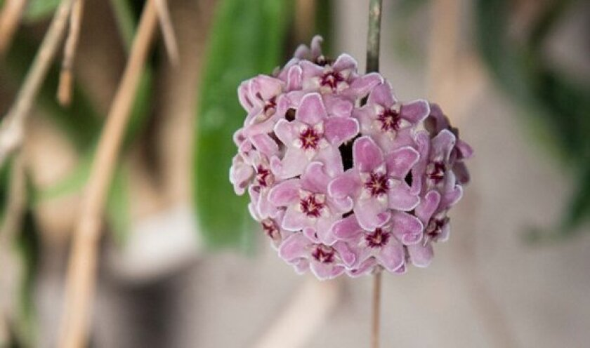 In this hoya cluster, a five-pointed star appears within every five-pointed star. Varieties of the succulent flower have flowers of pink, yellow, orange and burgundy, not to mention white and near-black.