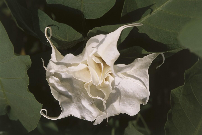 Brugmansia arborea flower