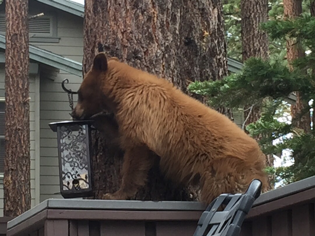 A bear named Scout raids a bird feeder in Mammoth Lakes.