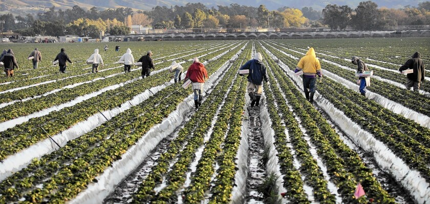 From 2002 to 2011, 787 people suffered symptoms including watery eyes, irritated lungs, coughing and headaches as a result of exposure to chloropicrin gas, state records show. Above, workers pick strawberries in Ventura County.