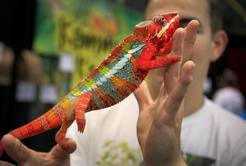 Alec O'Brien of Corona holds a Panther chameleon during the Reptile Super Show at the San Diego Concourse.