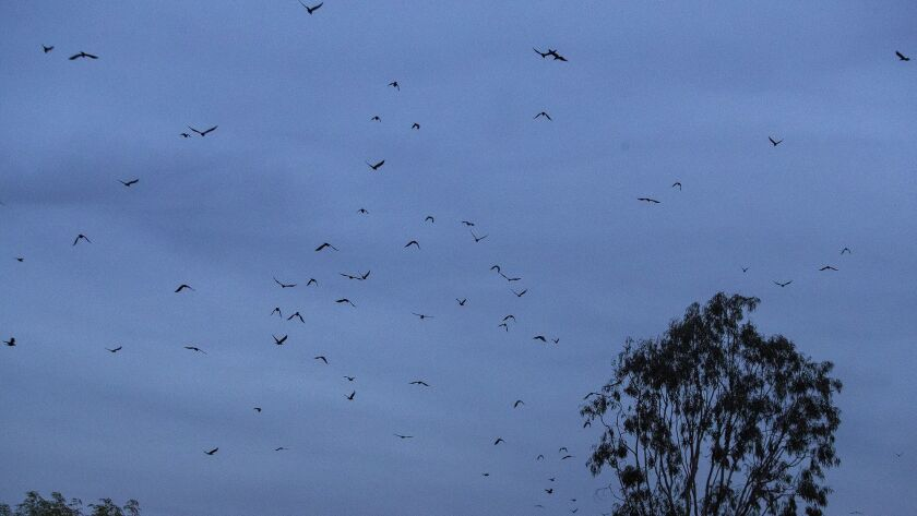 Crows fly over towards John Wayne Airport on Wednesday, March 7.