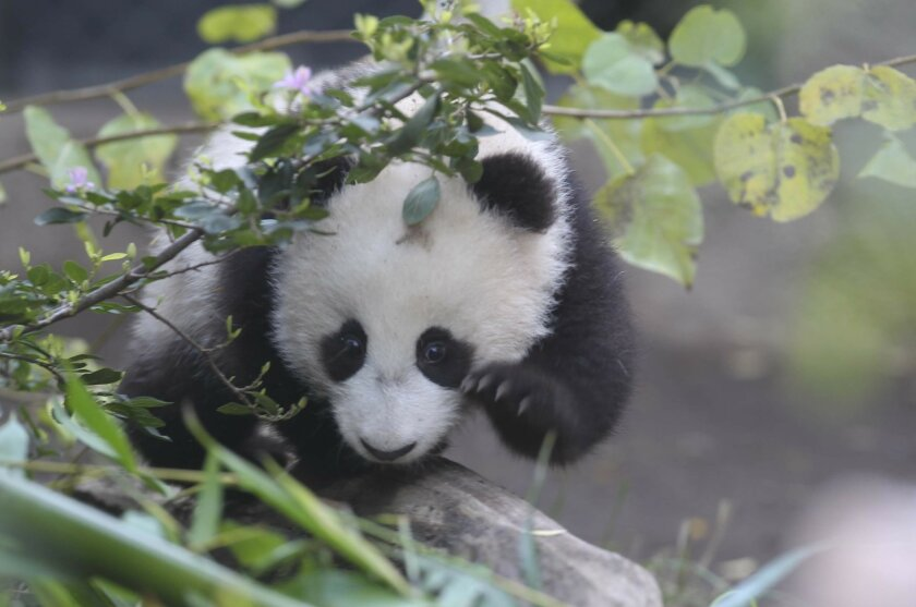 Xiao Liwu, the sixth and latest panda born at the San Diego Zoo, made its public debut on January 10th, along with his mother Bai Yun.