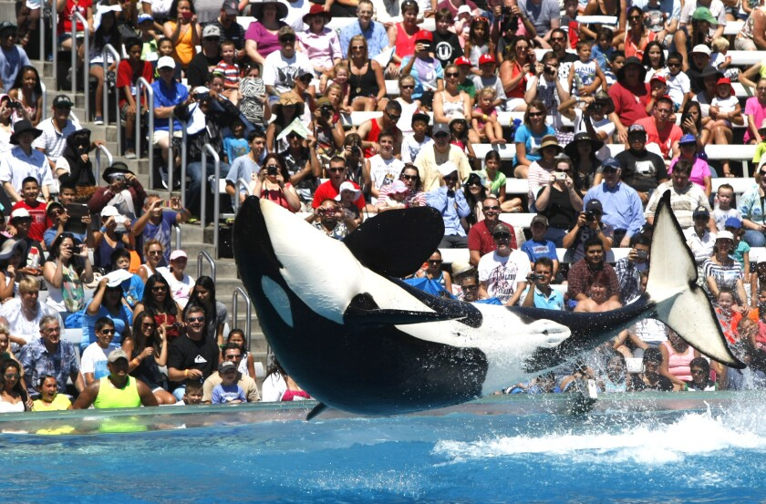 The crowd reacts to a trained Orca whale during a performance at Shamu Stadium at Sea World in San Diego, CA, on Aug 14, 2014. Battered by controversy over its treatment of killer whales, Sea World San Diego announced plans for a new attraction to boost sliding attendance numbers.