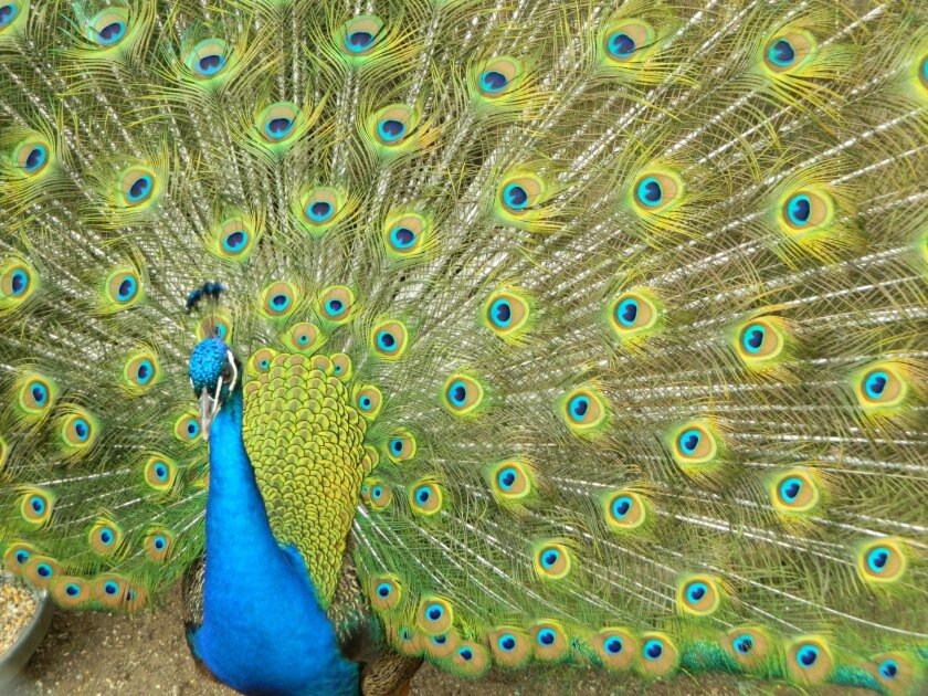 A peacock flashes its feathers during the San Diego Fawn Rescue held recently at a Ramona Ranch.