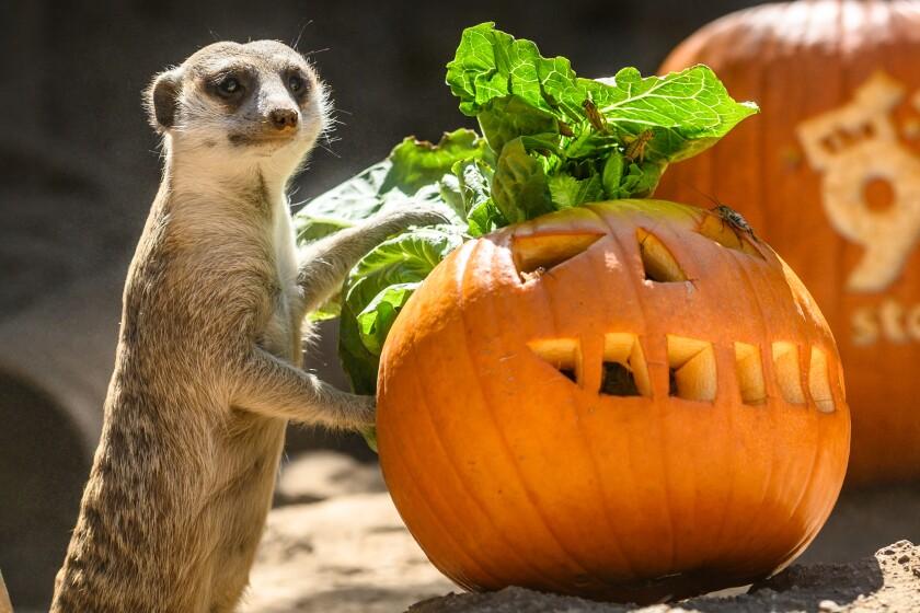 A meerkat with a pumpkin.