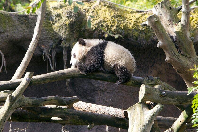 El oso panda Xiao Liwu explora su habitat en el zoológico de San Diego.