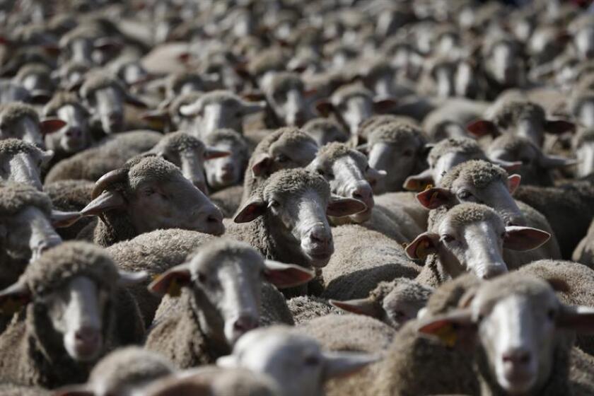 La ONG animalista PETA (Gente por el Tratamiento Ético de los Animales) acusó hoy a la marca de ropa estadounidense Forever 21, durante una protesta frente a su tienda en la plaza neoyorquina de Times Square, de utilizar lana de ovejas maltratadas. EFE/ARCHIVO