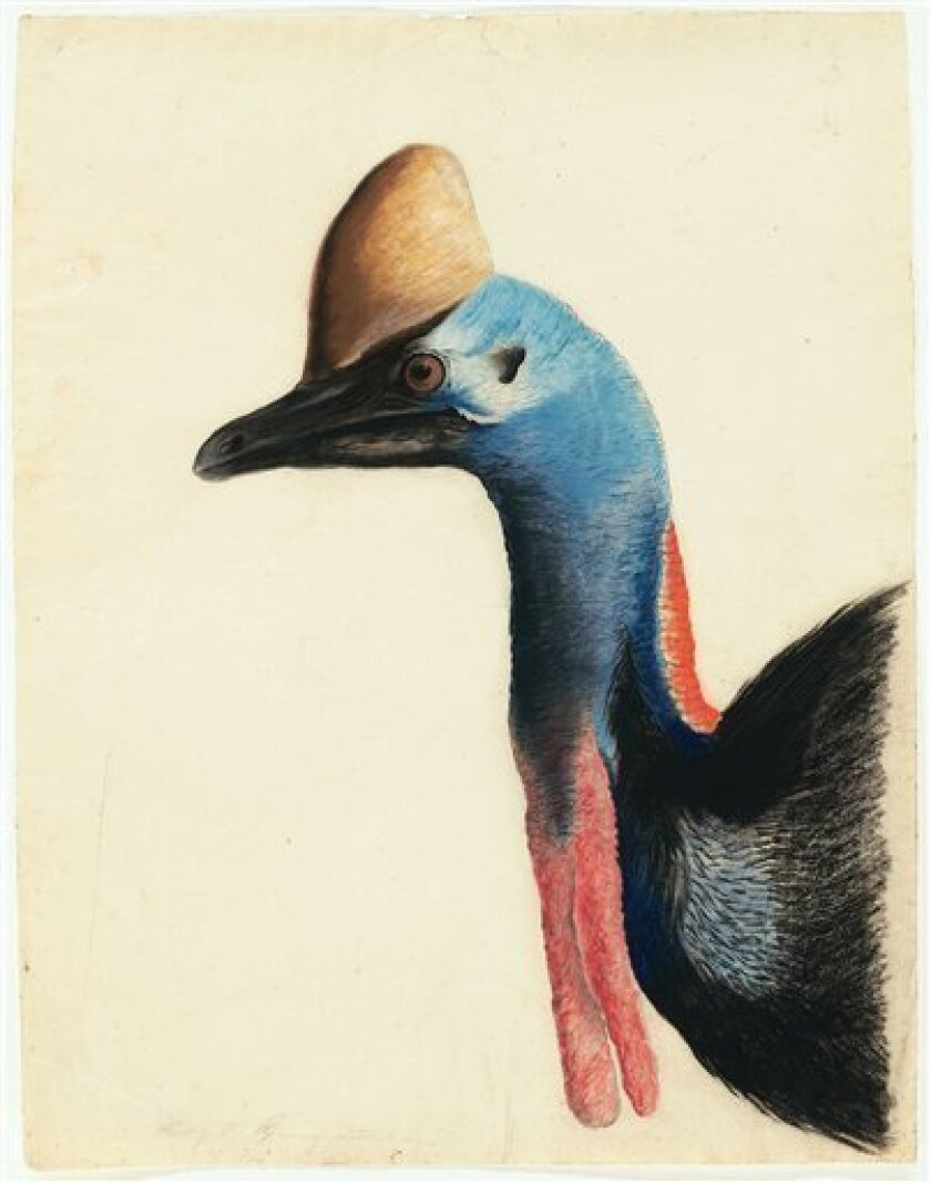 """This 1812 image provided by the New-York Historical Society of the head of a Southern Cassowary is one of 474 bird watercolors by John James Audubon in the collection of the New-York Historical Society, which is mouting three exhibitions of all of its Audubon images over three years. The 474 watercolors include 435 that were engraved for Audubon's monumental """"The Birds of America."""" It's considered the greatest book of printed engravings ever produced. The first group went on view March 8. (AP P"""