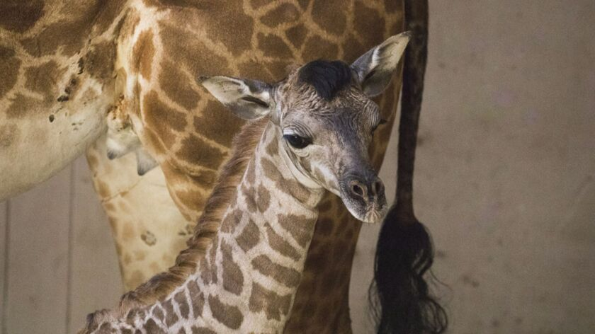 In this March 15, 2018 photo provided by the Santa Barbara Zoo, a baby giraffe stands next to her mo