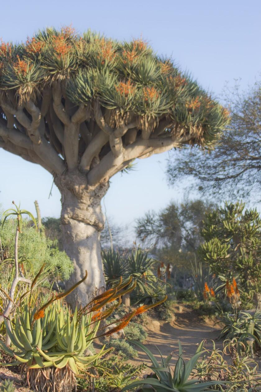 The old world desert garden at San Diego Botanic Garden.