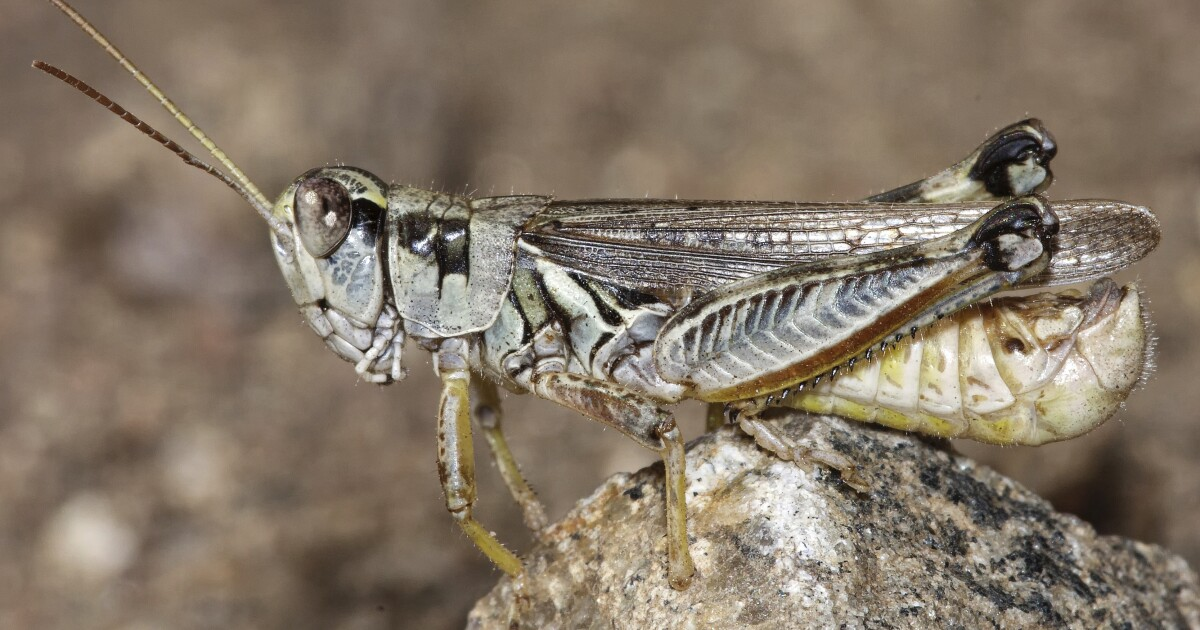 Forget cicadas. Drought-stricken West is getting plagued by voracious grasshoppers