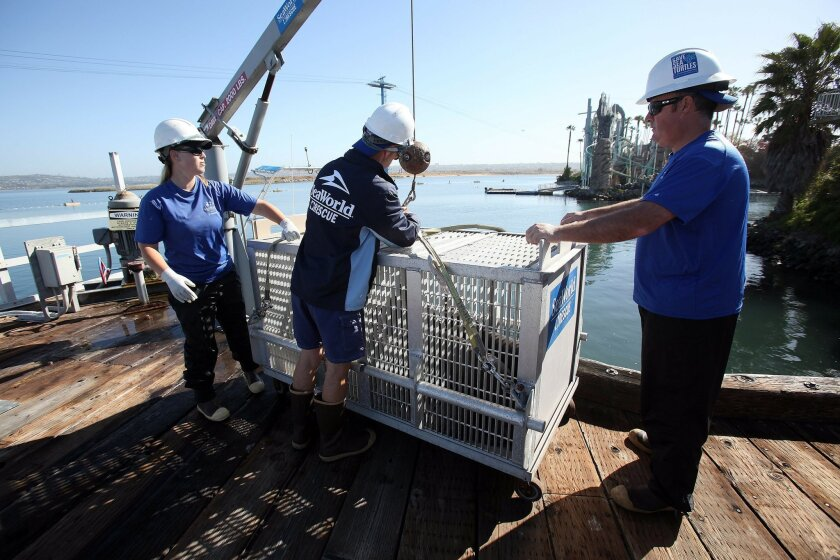 SeaWorld staff move a cage loaded with eight sea lions from the docks behind SeaWorld onto a boat that will release them far offshore.