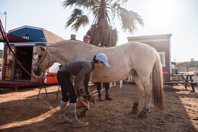 Alycia Brewer, an intern at Ride Above Disability Therapeutic Riding Center in Poway, cleans Dixie, a Norwegian fjord horse.