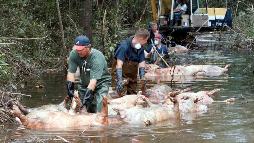 Workers float dead hogs through floodwaters in North Carolina after Hurricane Floyd in 1999.