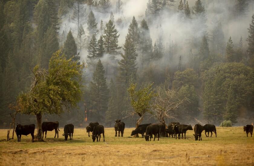 Smoke sifts through trees where cows graze.