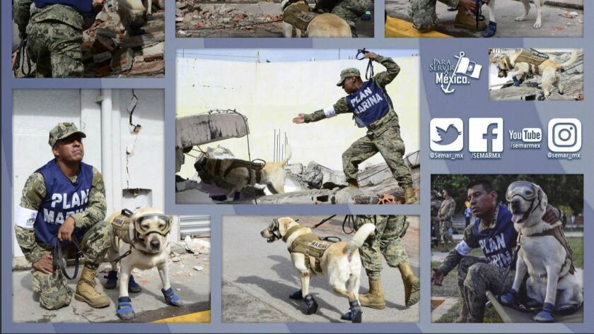 A Sept. 13, 2017, tweet shows Frida, a member of the Mexican navy's Canine Unit. Frida has taken par