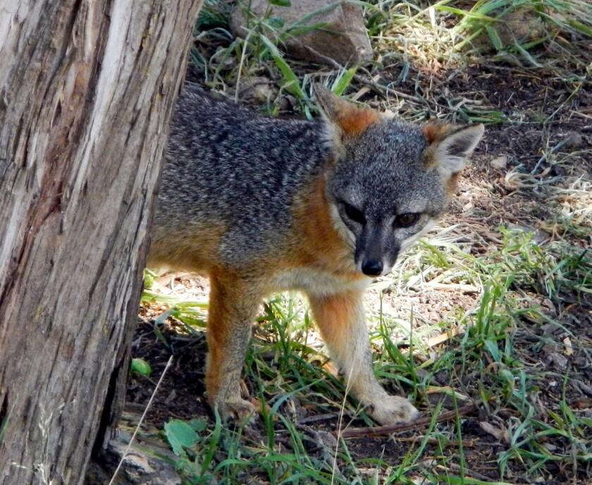 An endemic island fox, which weighs only 4 to 5 pounds, scouts campsites in Scorpion campground.