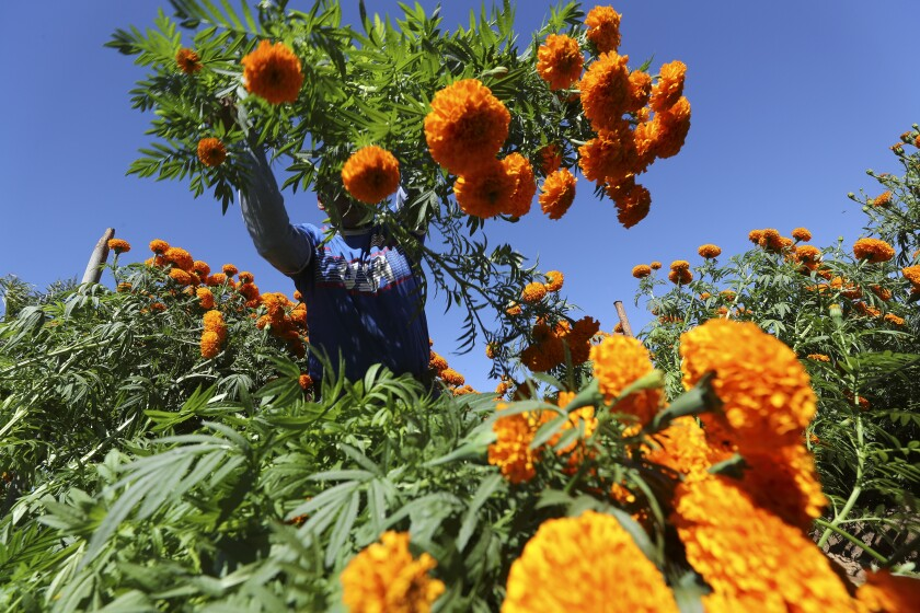 Noemi Molina tosses marigolds that she cut on to a pile that she will eventually carry to a truck as she and other workers harvest marigolds at the Mellano & Company farm on Friday, October 25, in Oceanside. The flowers were donated to the Mission San Luis Rey for its 19th annual Dia de los Muertos Festival on Oct. 27.