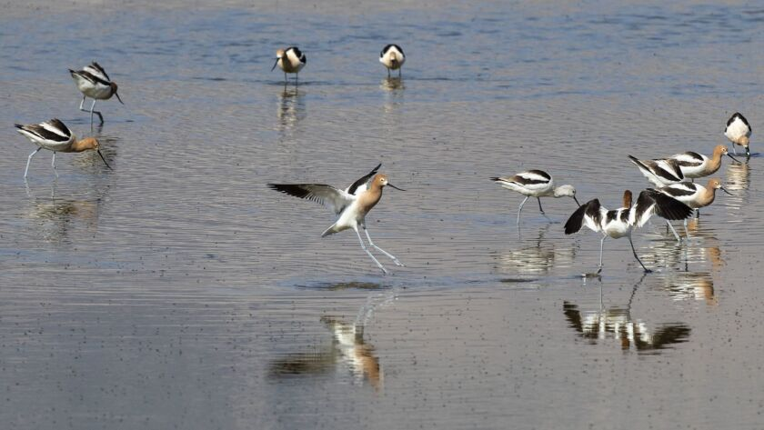 LONE PINE, CALIF. -- SATURDAY, APRIL 28, 2018: American Avocets feed on brine flies along the Owens