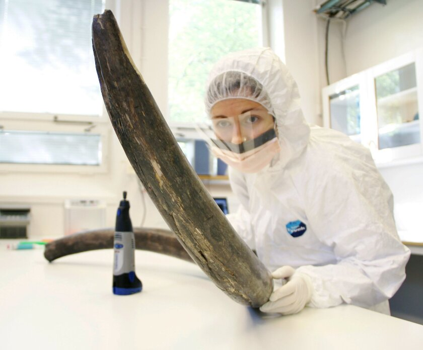 In this Sept. 3, 2013 photo provided by Love Dalen, Eleftheria Palkopoulou inspects a woolly mammoth tusk to identify potential sites for DNA sampling, in the ancient DNA lab at the Swedish Museum of Natural History, in Stockholm, Sweden. Scientists are getting their best look yet at the DNA code for the woolly mammoth, thanks to work that could be a step toward re-creating the extinct beast. (Love Dalen via AP)