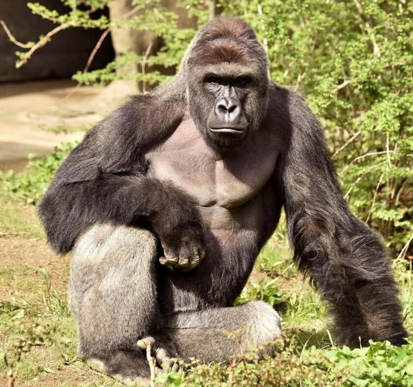 Recuerdan al gorila Harambe que alcanzó la fama después de su muerte