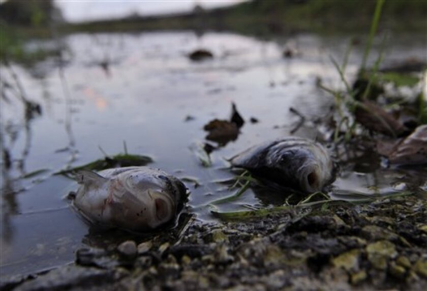 """Dead fish, victims of the toxic red sludge that spilled Monday from a giant industrial container, in the River Marcal near Boba, Hungary, Thursday, Oct. 7, 2010. """"Life in the River Marcal has been extinguished,"""" Rescue official Tibor Dobson told The Associated Press, referring to the river's 25-mile (40-kilometer) stretch that carried the red waste from Kolontar into the Raba River and onto the Danube. (AP Photo/Bela Szandelszky)"""